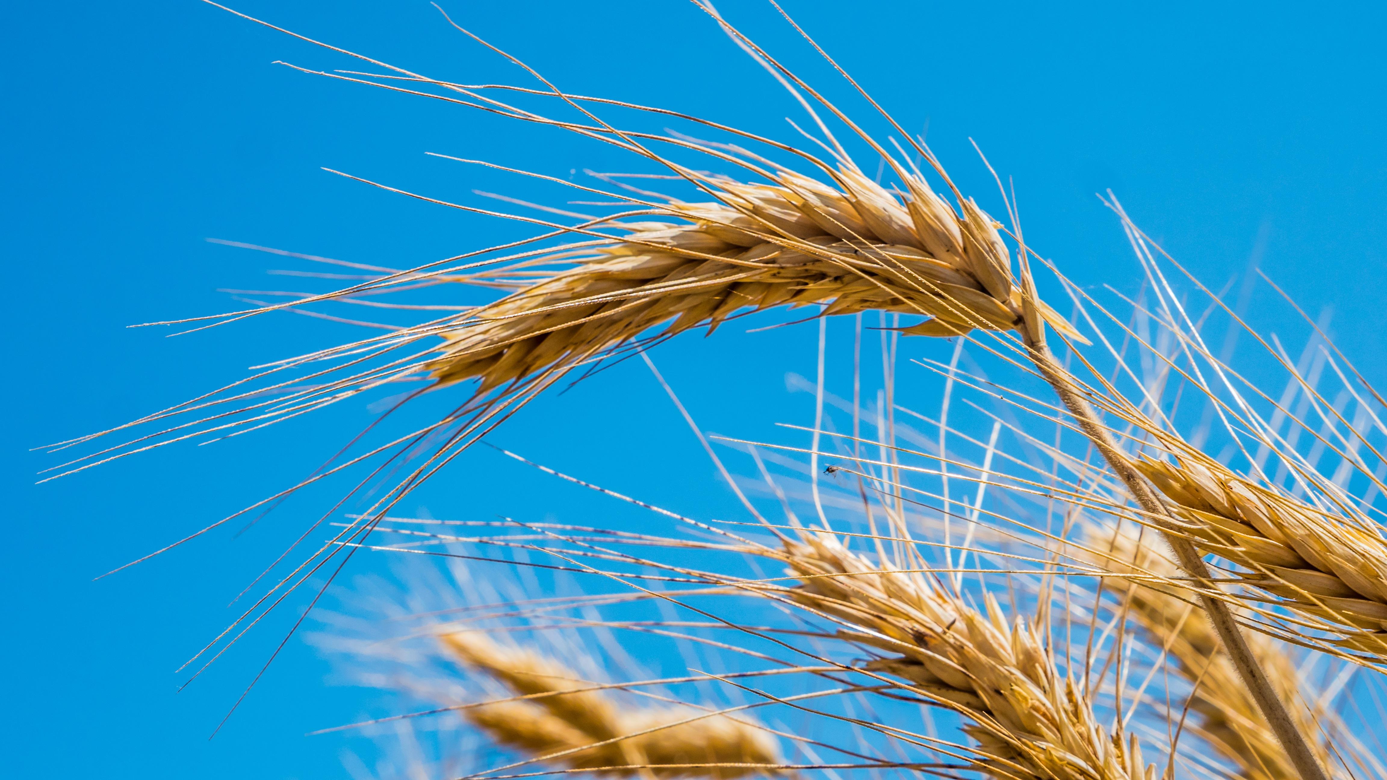 wheat-4373337